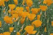 California Poppy, Santa Barbara Botanical Garden, California