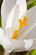 A White Crocus In A Garden In Portsmouth, New Hampshire
