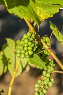 Pinot Gris Wine Grapes Ripen At A Whidbey Island Vineyard, Washington