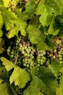 Pinot Grapes In Veraison In Vineyard In The Okanogan Valley, Washington