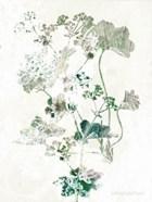 Geranium Botanical