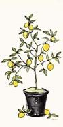 Citron V