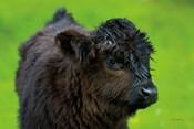 Scottish Highland Cattle XI