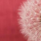 Dandelion on Red II