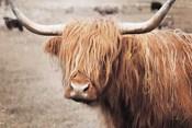 Scottish Highland Cattle I Neutral