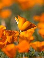 Detail Of Golden California Poppy In Antelope Valley