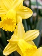 Daffodil Bundle, New York City