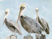 Soft Brown Pelican III