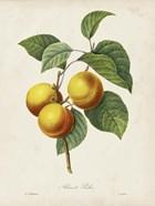 Redoute's Fruit I