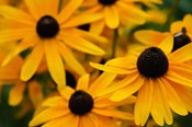 Black-Eyed Susan Flowers 3