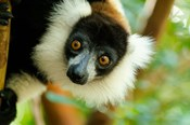 Madagascar, Lake Ampitabe, Headshot Of The Showy Black-And-White Ruffed Lemur