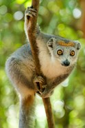 Madagascar, Lake Ampitabe, Female Crowned Lemur Has A Gray Head And Body With A Rufous Crown