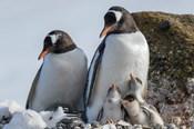 Antarctica, Antarctic Peninsula, Brown Bluff Gentoo Penguin With Three Chicks
