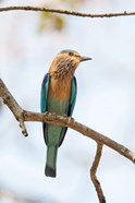 India, Madhya Pradesh, Bandhavgarh National Park An Indian Roller Posing On A Tree Branch