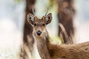 India, Madhya Pradesh, Kanha National Park Headshot Of A Young Male Barasingha