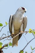 India, Madhya Pradesh, Kanha National Park Portrait Of A Black-Winged Kite On A Branch
