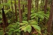 Redwoods Treewalk At The Redwoods, Rotorua, North Island, New Zealand