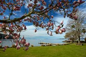 Magnolia Tree In Bloom, And Lake Taupo, Braxmere, Tokaanu, Near Turangi, North Island, New Zealand