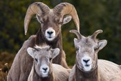 Alberta, Jasper Bighorn Sheep Ram With Juveniles
