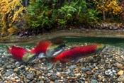 British Columbia, Adams River Sockeye Salmon Split Shot