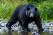 British Columbia Black Bear Searches For Fish At Rivers Edge