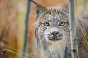 Yukon, Whitehorse, Captive Canada Lynx Portrait