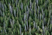 Yukon, Kluane National Park Mix Of Living And Dead White Spruce Trees