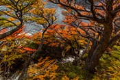 Argentina, Los Glaciares National Park Lenga Beech Trees In Fall