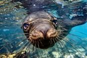Galapagos Islands, Santa Fe Island Galapagos Sea Lion Swims In Close To The Camera