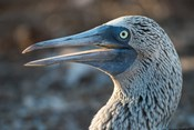 Galapagos Islands, North Seymour Island Blue-Footed Booby Portrait