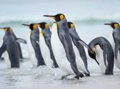 King Penguin On Falkland Islands 2