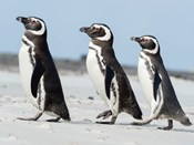Magellanic Penguin, Falkland Islands