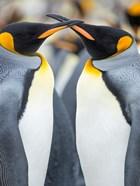 King Penguin, Falkland Islands 4