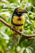 Costa Rica, La Selva Biological Research Station, Collared Aricari On Limb