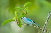 Costa Rica, Sarapiqui River Valley, Blue-Grey Tanager On Limb