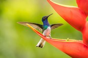 Costa Rica, Sarapiqui River Valley, Male White-Necked Jacobin On Heliconia
