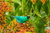 Costa Rica, Arenal Green Honeycreeper And Berries