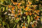 California, San Luis Obispo County Clustering Monarch Butterflies On Branches