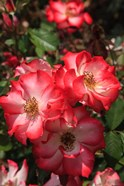 Betty Boop Rose Is A Hybrid Rose With A Moderately Fruity Aroma