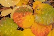 Colorado, Gunnison National Forest, Raindrops On Fallen Autumn Aspen Leaves
