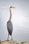 Colorado, Great Blue Heron