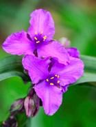 Purple Virginia Spiderwort, Tradescantia Virginiana Growing In A Wildflower Garden