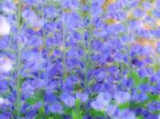 Blue Wild Indigo, Baptisia Australis, A Native American Wildflower
