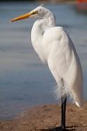 Great Egret (Ardea Alba) On Tigertail Beach Lagoon, Marco Island, Florida