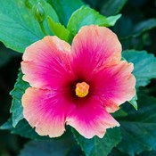 Tropical Hibiscus Flower, Maui, Hawaii