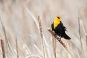 Idaho, Market Lake Wildlife Management Area, Yellow-Headed Blackbird On Cattail