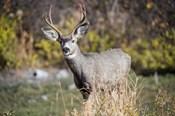 A Mule Deer Buck At National Bison Range, Montana