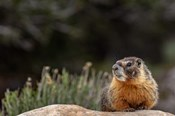 Yellow Bellied Marmot In Great Basin National Park, Nevada