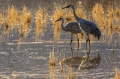 Sandhill Cranes In Water