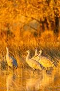 Sandhill Cranes In Water At Sunrise